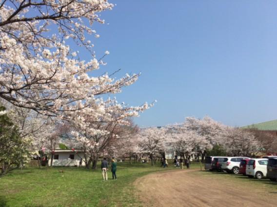鏡野公園へ花見に行ってきました!
